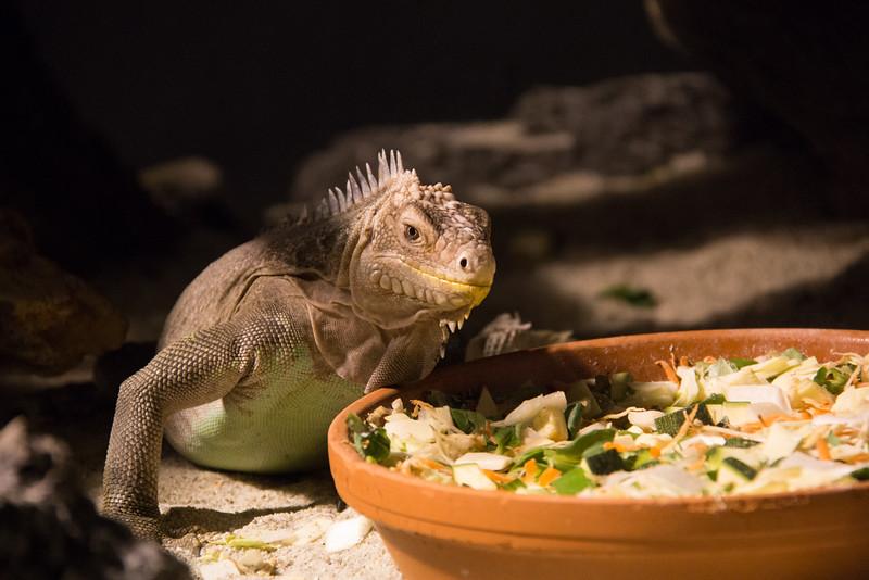 Honduran Spiny-Tailed Iguana