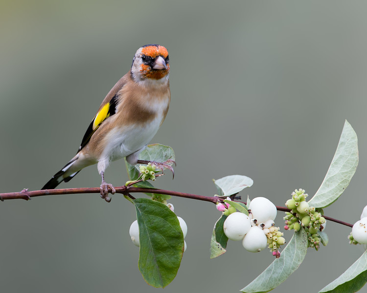 European Goldfinch on Snowberries