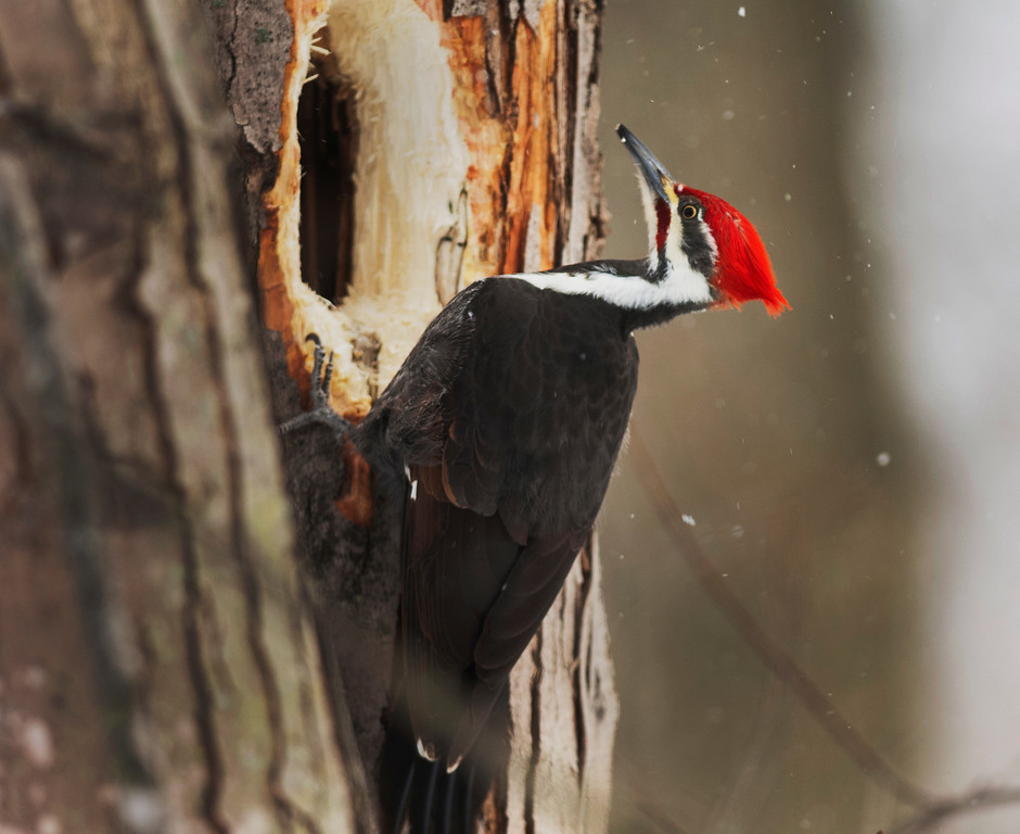 . Michael Allen Blair/MBlair@News-Herald.com A pileated woodpecker feast on a tree Wednesday at Chagrin River Park in Willoughby.