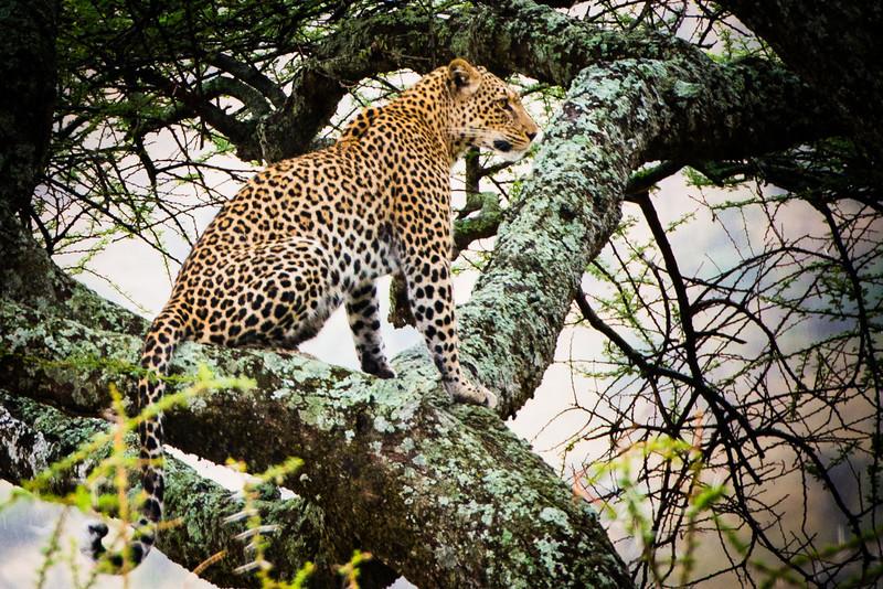 Leopard in a tree, Serengeti