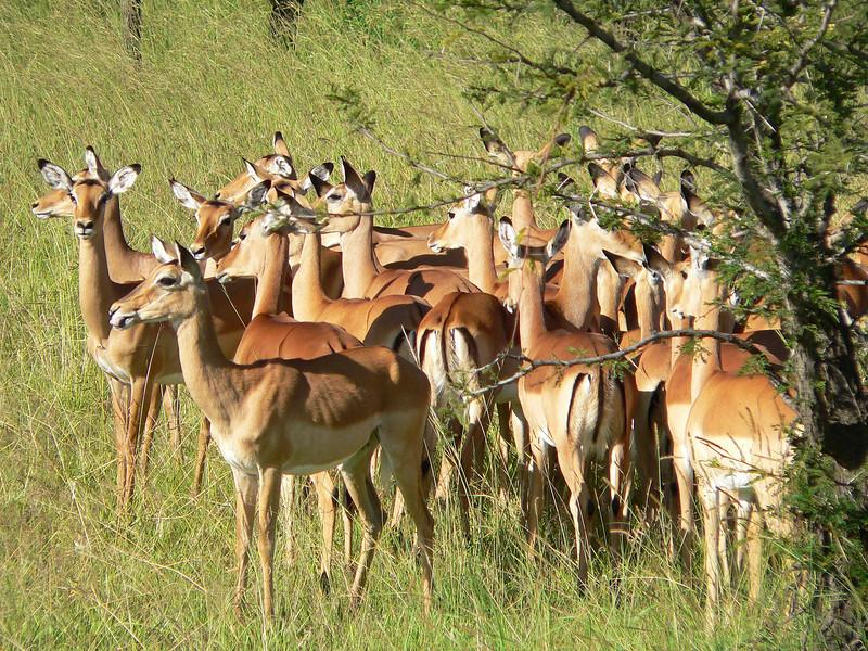 Impalas in Serengeti.