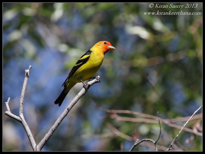Western Tanager male, Big Morongo Canyon Preserve, Morongo Valley, Riverside County, California, May 2013