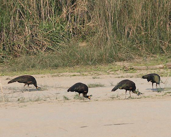 PHASIANIDAE Pheasants and Partridges