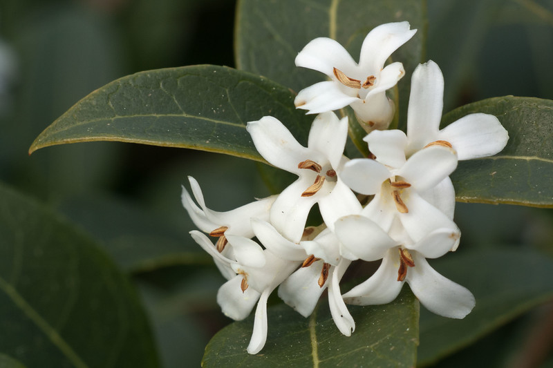 Osmanthus Marginatus