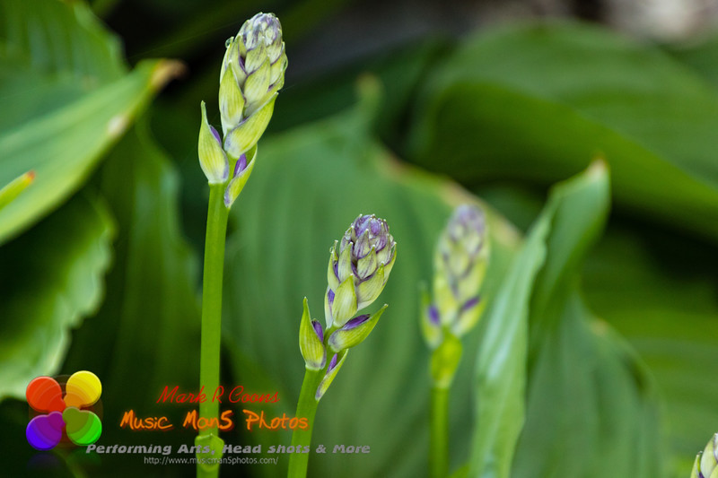 the hostas are getting ready to bloom