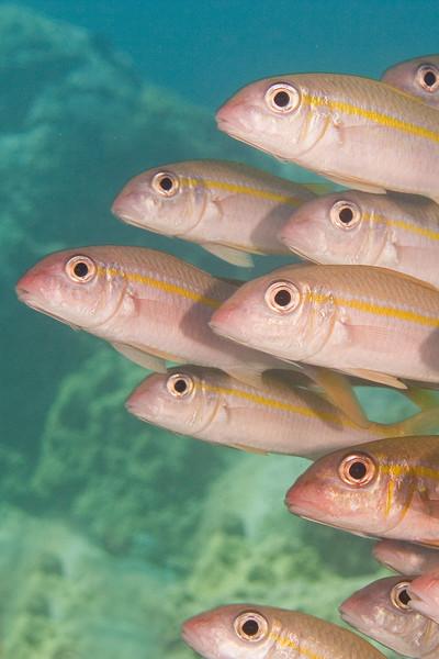 Goat Fish V.jpg