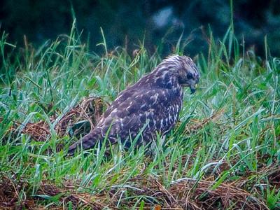 Eagle Bend Green Heron, Hawk, & Others