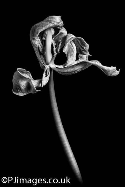 tulips-228.jpg