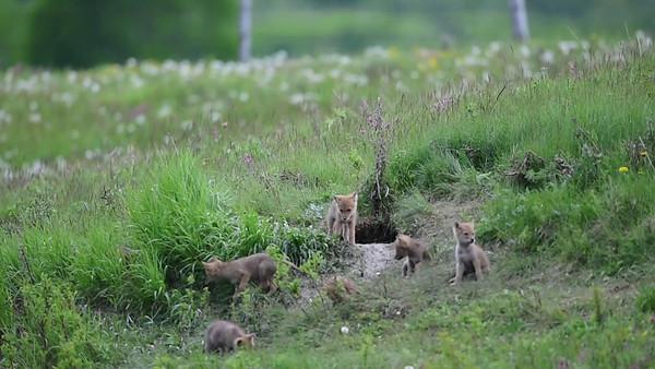 6-8-14 Video Coyote Den 8 Pups