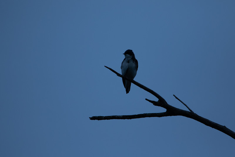 A tree swallow found at the Celery Bog in West Lafayette, Indiana