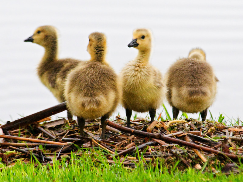 Goose - Canada - babies - Trout Lake - Bovey, MN