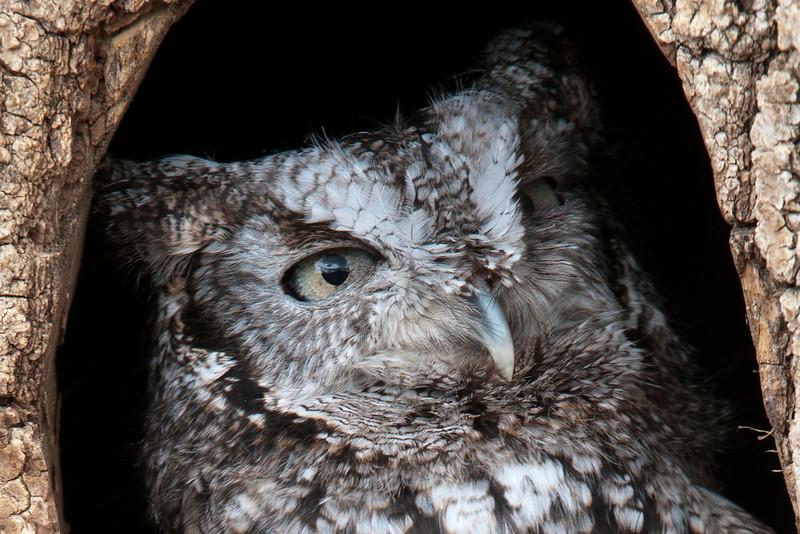 Owl - Eastern Screech - Gray Phase - (captive) - Houston, MN - 01