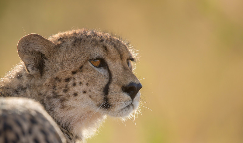 Cheetah stare, Serengeti National Park