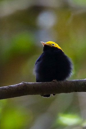 Manakins (Pipridae)