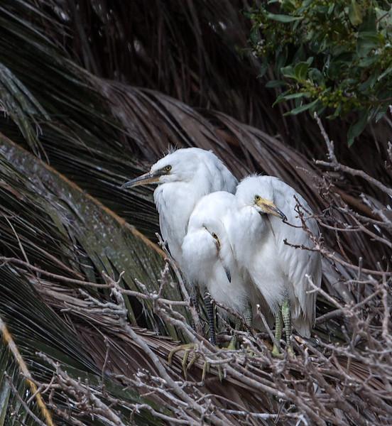 Snowy Egret Fledglings Newark, California 1304N-SE27F
