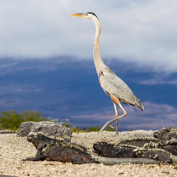 Heron_John Hoffman.jpg