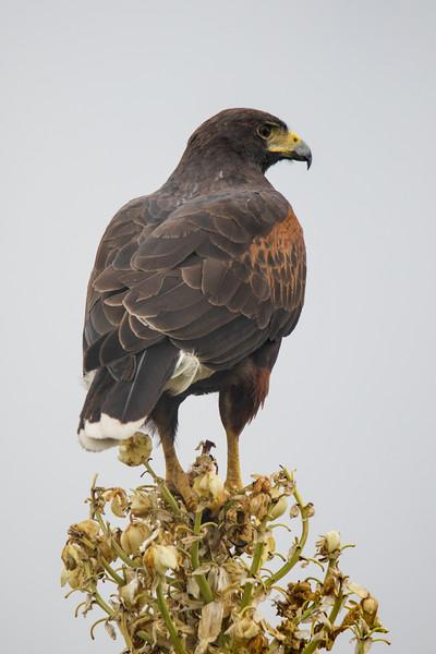 Harris's Hawk Laguna Atascosa NWR 2020-3.jpg