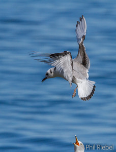 Black-legged Kittiwake (Juvenile 1st winter)