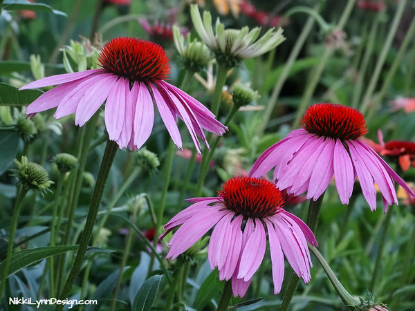 Coneflowers are a must have for every garden. You can purchase flowers that bloom in yellow or purple.  Extremely easy to plant and grow.