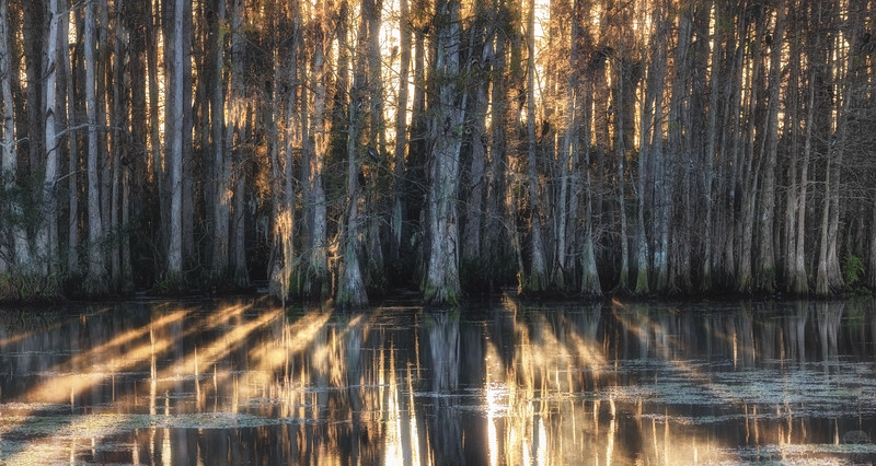Sunrise through cypress swamp