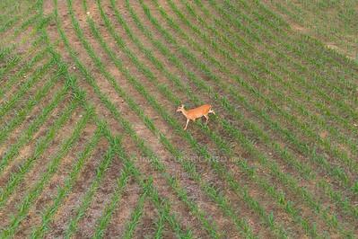 06/07/18 Deer