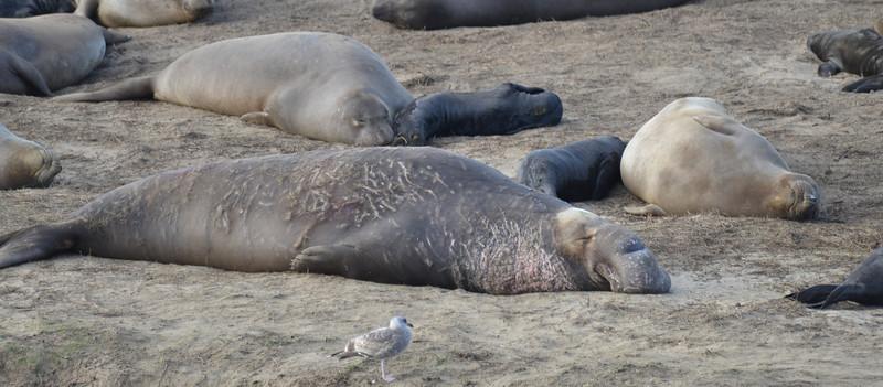 ano-nuevo-elephant-seals-2013 8.jpg