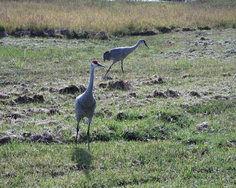 A pair of sandhill cranes wanders around my Aunt Connie and Uncle Art's backyard in Deltona, Fl.