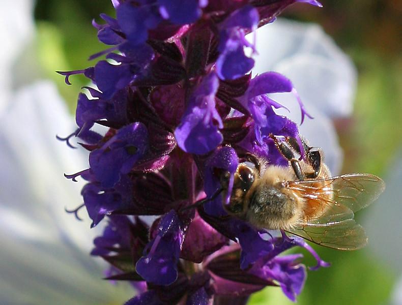 2361 Bee on Flowers crop.jpg