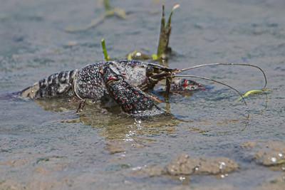 Crayfish - Krebs