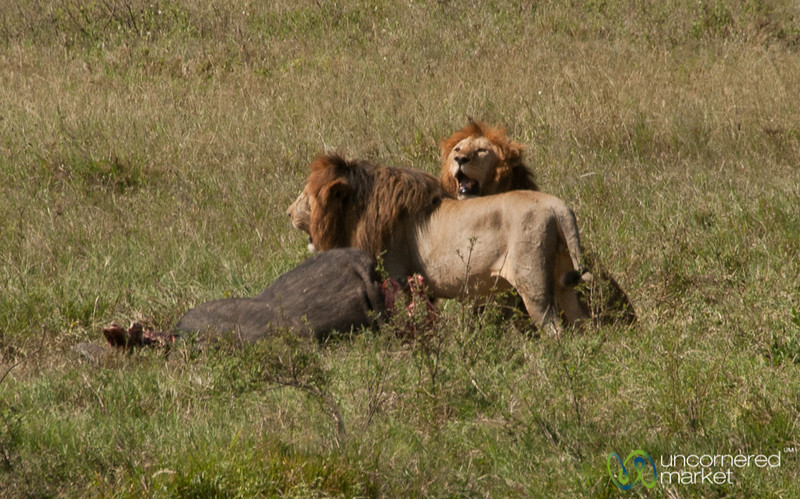 Two Male Lions with Kill - Serengeti, Tanzania