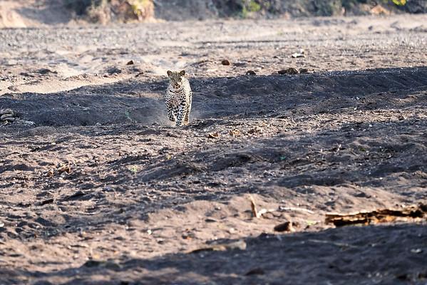 Leopard Kill Mongoose Mashatu Botswana 2019