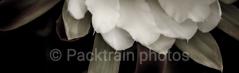 Fine Art Cactus Flower - FACF - 1
