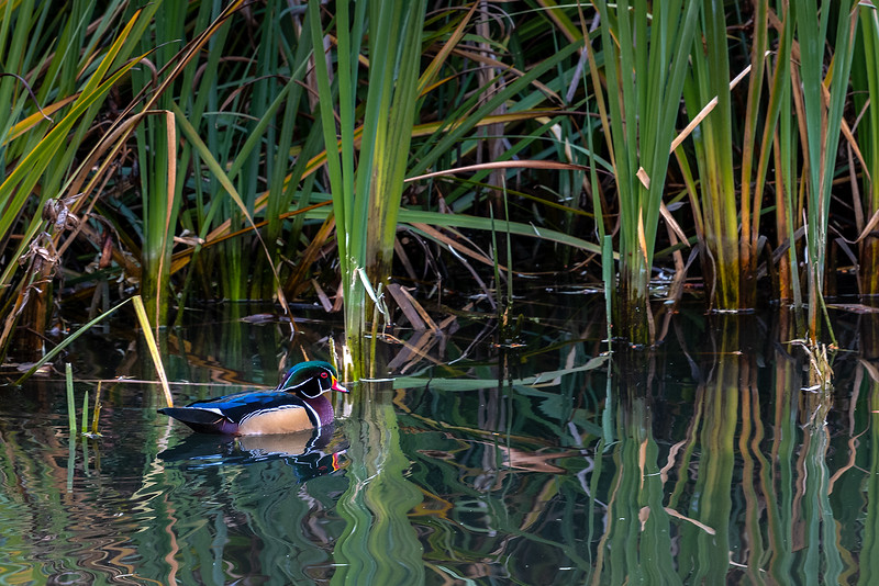 113.Linda Helvie.2.Wood Duck.jpg