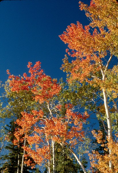 Artic- Autumn Birch.jpg
