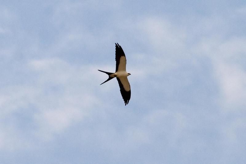 Swallow-tailed Kite at Madre de Dios River, Manu, Peru (2008-07-07).psd