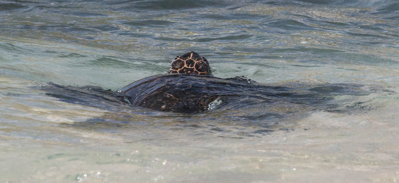 . In ancient Hawai'i, each family had an 'aumakua, a protective deity. Sharks, owls lizards, hawks or turtles- each symbolizes a different strenght of character. The honu, or turtle, is the 'aumakua of wisdom and good luck and represents longevity, saftety and spiritiual energy.
