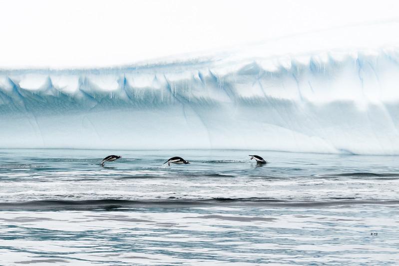 3 Penguins Porpousing-2-0468.jpg