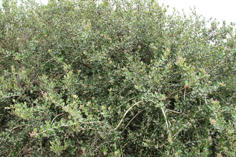 One big beautiful Lemonadeberry, Rhus integrifolia.