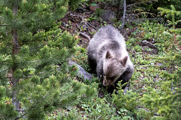 7-9-20 Grizzly #104, & 2 Cubs