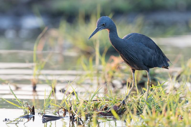 Slaty Egret, Chobe River, NAM, Oct 2016-2.jpg