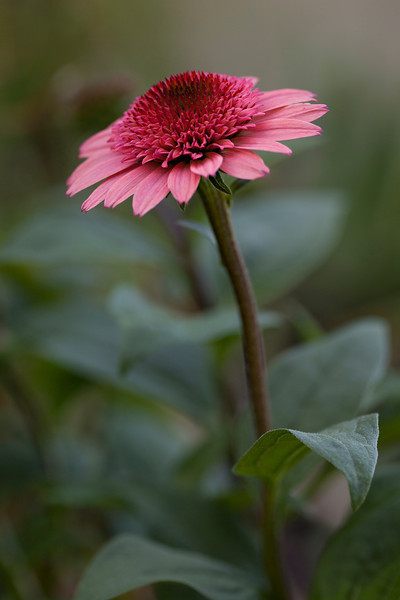 "Echinacea purpurea 'Raspberry Truffle'  a 2011 ""cone-fection byr hybridizer Arie Blom.   Viv S1 90mm at f5.6"