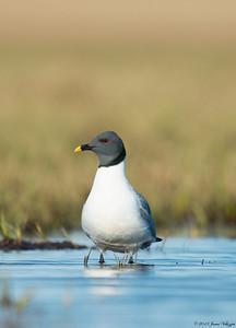 Sabine's Gull, Xema sabini