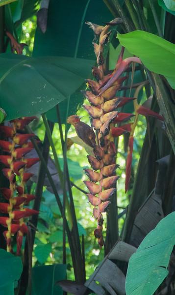 Chestnut-colored Woodpecker ( Celeus castaneus )