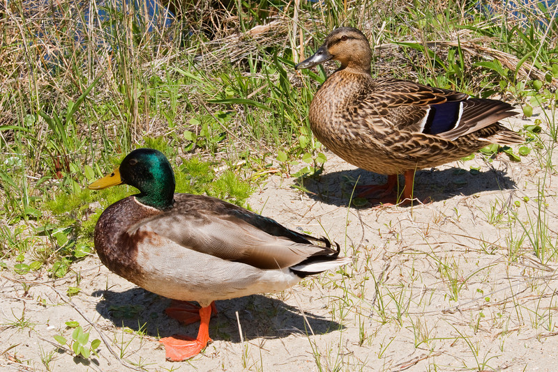 Mallard - male and female - South Point - Ocracoke Island, NC