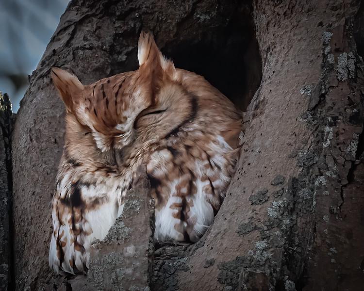 Eastern Screech Owl (rufous)