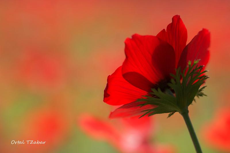 כלנית אדומה.jpg