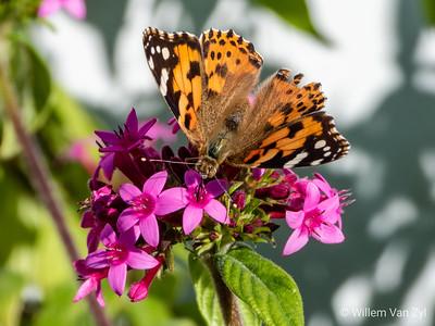Miscellaneous (Butterflies)