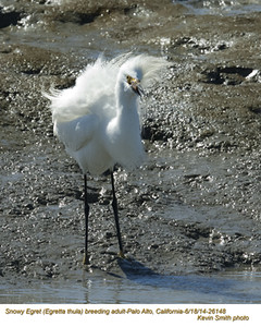 Snowy Egret A26148.jpg