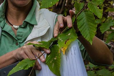 Fagus grandifolia (Fagaceae)