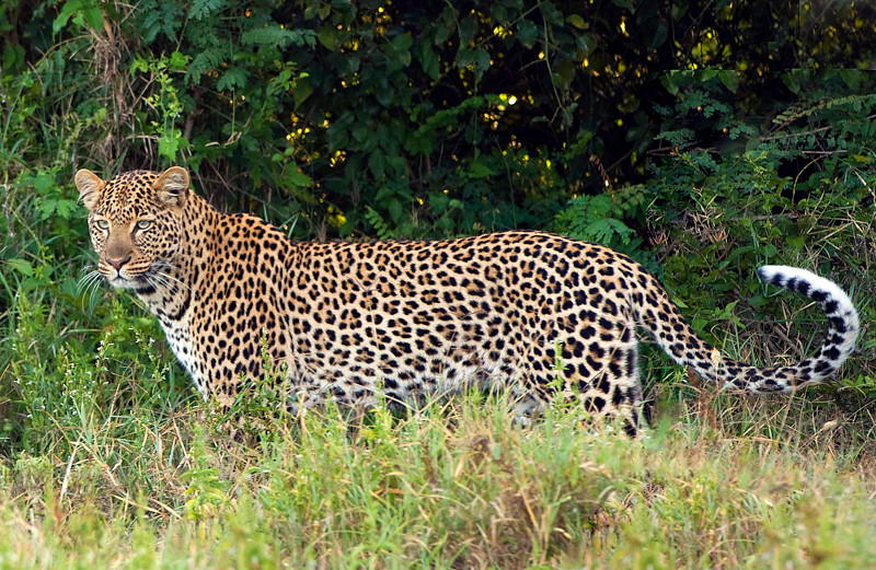 Leopards-5.jpg